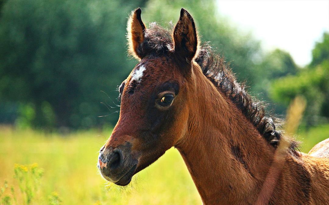 Wat is belangrijk bij geboorte van een veulen?